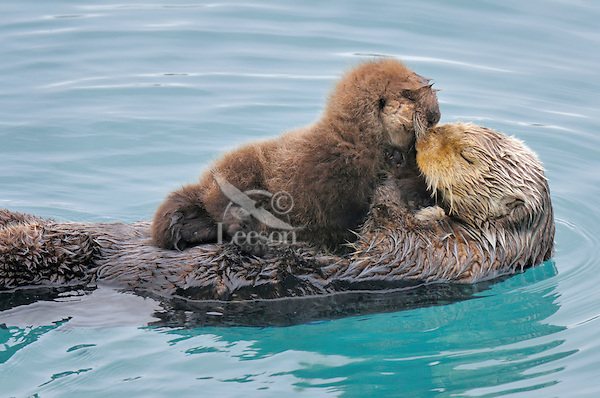 Alaskan or Northern Sea Otter (Enhydra lutris) mother and pup/baby