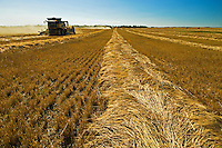 harvesting 2 Row barley (variety Stratus)<br /> Fairlight<br /> Saskatchewan<br /> Canada