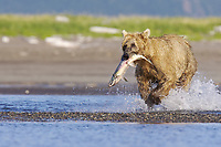 Paula catches a salmon. Kodiak grizzly bear (Ursus arctos middendorffi), Hallo Bay