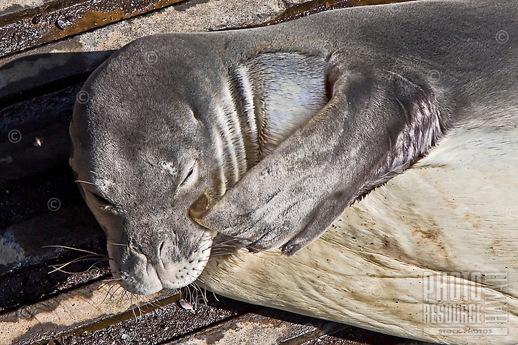 Government officials and locals keeping their eyes on a Hawaiian monk seal (Monachus schauinslandi) that is basking on a boat ramp at Honokohau Harbor, Kona Coast, Big Island
