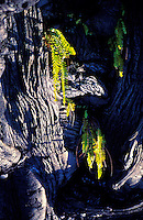 Green ferns sprout from the grey pahoehoe lava at Volcanoes National Park on the Big Island.