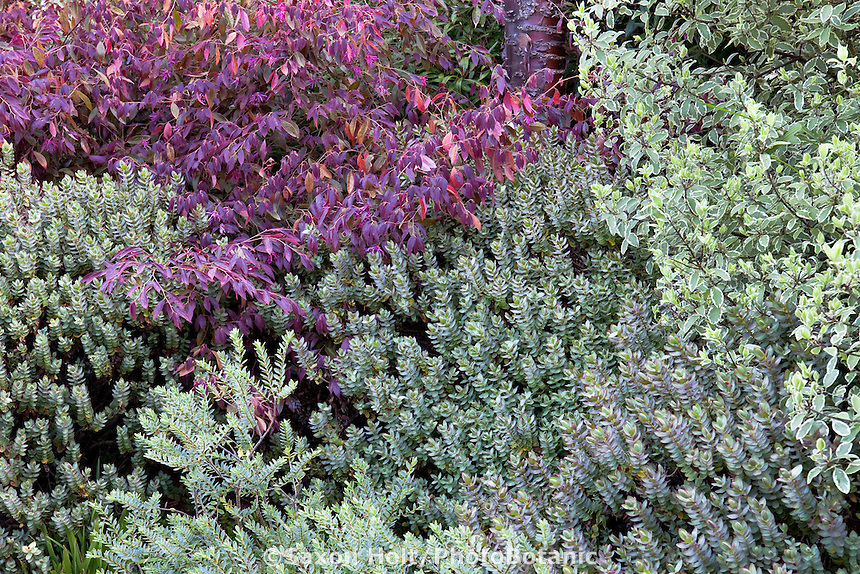 Leaf foliage tapestry of Loropetalum chinense v. Rubrum ' Burgundy', Hebe 'Red Edge' and Pittosporum tenuifolium v. nigricans - 'Marjorie Channon' in San Francisco Botanical Garden