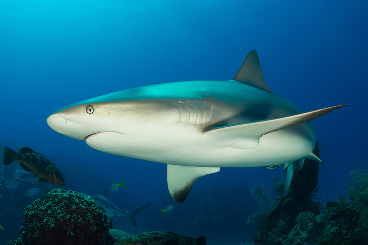 Caribbean reef shark: Carcharhinus perezi swimming over a reef in Jardines de la Reina (Gardens of the Queen), Cuba