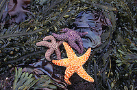 lk5936. Ochre sea stars (Pisaster ochraceus), kelps, and algaes. Washington, USA, Pacific Ocean..Photo Copyright © Brandon Cole. All rights reserved worldwide.  www.brandoncole.com..This photo is NOT free. It is NOT in the public domain. This photo is a Copyrighted Work, registered with the US Copyright Office. .Rights to reproduction of photograph granted only upon payment in full of agreed upon licensing fee. Any use of this photo prior to such payment is an infringement of copyright and punishable by fines up to  $150,000 USD...Brandon Cole.MARINE PHOTOGRAPHY.http://www.brandoncole.com.email: brandoncole@msn.com.4917 N. Boeing Rd..Spokane Valley, WA  99206  USA.tel: 509-535-3489
