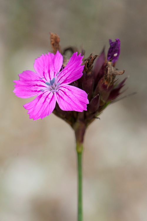 Carthusian pink (Dianthus carthusianorum), early July.