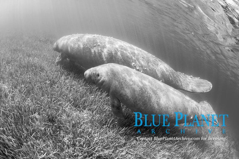 black and white composition Manatee in the Sea Grass, Trichechus manatus latirostris, Homosassa Springs, Florida