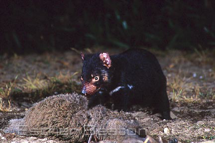 Tasmanian Devil (Sarcophilus harrisii) close up of feeding on kangaroo carcass at night. Narawntapu National Park, northern Tasmania.