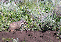 A female badger attends to its sett in the Lamar Valley.