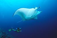 Manta ray and scuba diver, Manta alfredi, Maldives Island, Indian Ocean, Ari Atol (atoll)