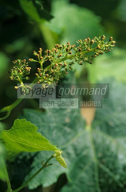 Europe/France/Aquitaine/33/Gironde/Quinsac: Les vignes en fleurs (AOC Premières côtes de Bordeaux) - Floraison