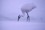 Whooping Crane walking in snow in Grays Lake National Wildlife Refuge, Idaho