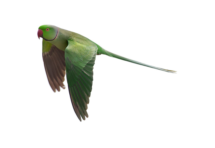 Ring-necked Parakeet Psittacula krameri L 40-42cm. Colourful and distinctive alien with long-tailed outline in flight. Powerful bill is used to feed on nuts and fruits. Sexes are separable with care. Adult male has mainly green plumage with dark flight feathers. Note red bill and eyering, pinkish neck ring has dark lower border that links to black throat. Adult female is similar but lacks neck or throat markings. Voice Utters loud, squawking calls. Status Feral populations are established locally; leafy suburbs of W London are a stronghold.