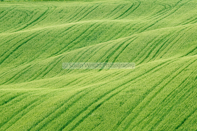 Wheat crops in Val d' Orcia, Tuscany, Italy, Unesco World Heritage Listed Site