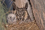 Long-eared Owl (Asio otus) mother and owlet in the nest, California, USA.