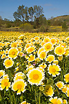 Colorful yellow and white tidy tips flowers carpet a cattle-grazed field in spring, San Luis Obispo Co., Calif. Oaks, willow, cottonwood and digger pine trees surround the field. (Layia platyglossa)