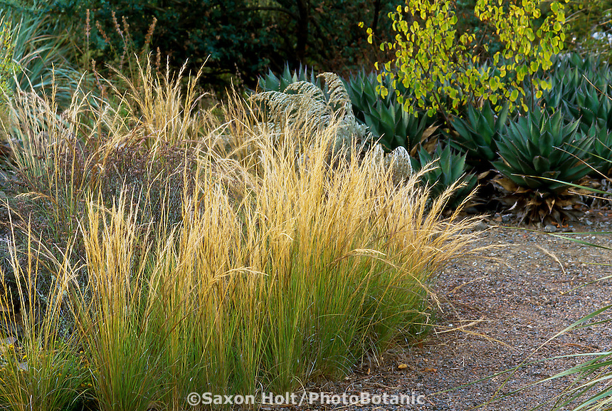 Aristida purpurea (Purple Three -Awn, Triple-Awn) California native grass, flowering by path in naturalistic garden
