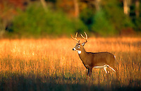 A White-tailed deer buck.