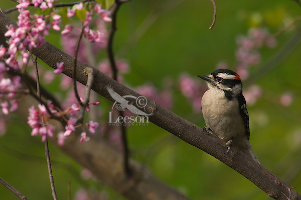 Male Downy Woodpecker (Picoides pubescens). Great Lakes Region. Spring.