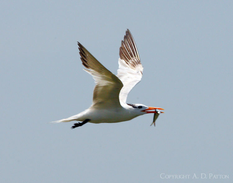 Post-breeding royal tern carrying fish