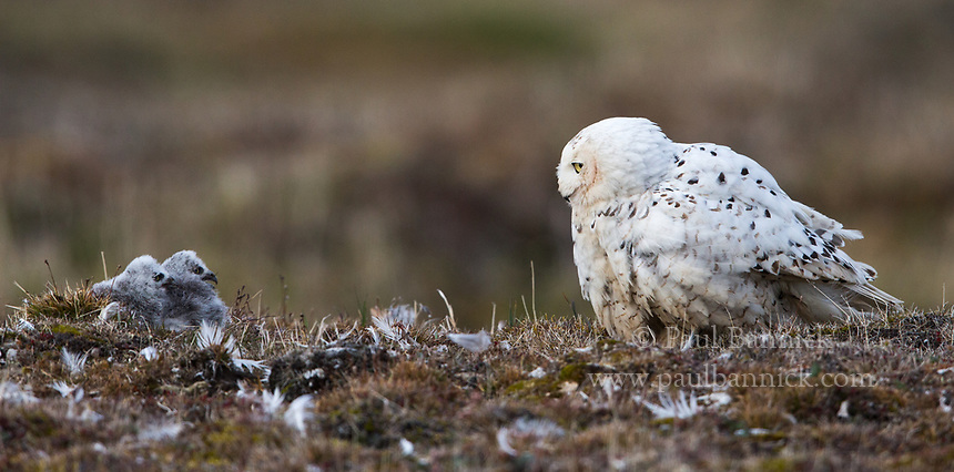 A Female Snowy Owl walks back to her nest to take care of her nestlings.