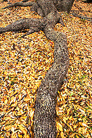 150450004 a texas live oak quercus ssp roots grow above ground amid leaf litter from fall leaf dropping in the hill country of central texas