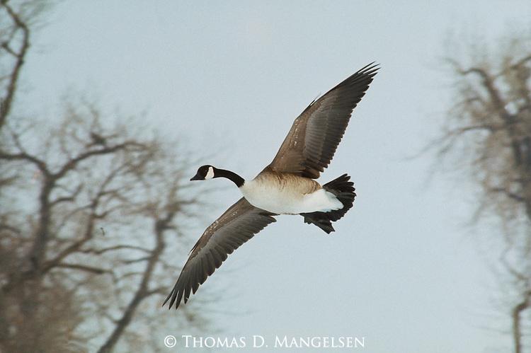 A Canada goose in flight in Colorado.