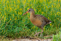 Adult Clapper Rail (Rallus longirostris) of the richly-colored Gulf Coast subspecies R. l. saturatus. Anahuac National NWR, Texas. March.
