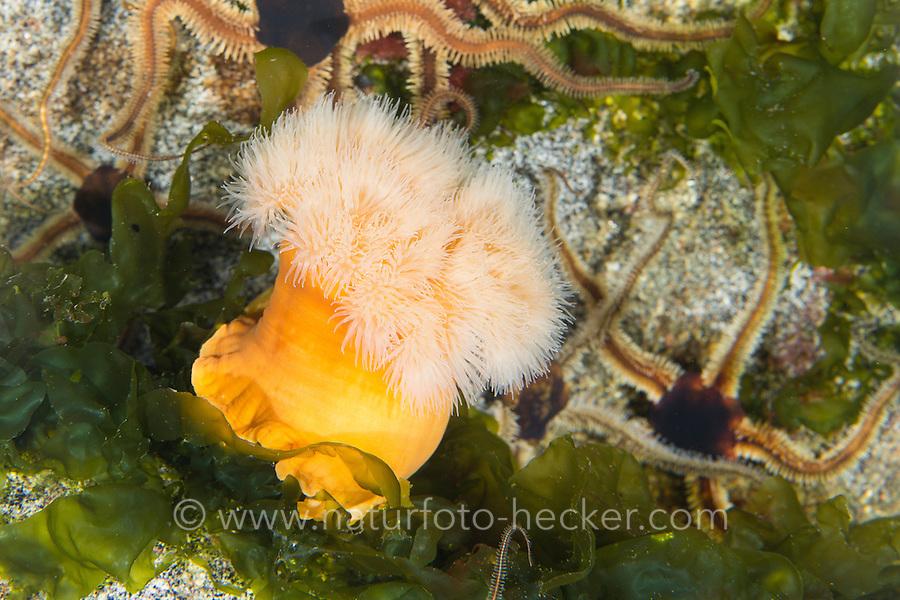 Seenelke, See-Nelke, Metridium senile, Seeanemone, See-Anemone, Blumentier, Blumentiere, clonal plumose anemone, frilled anemone, plumose sea anemone, brown sea anemone, Anthozoa