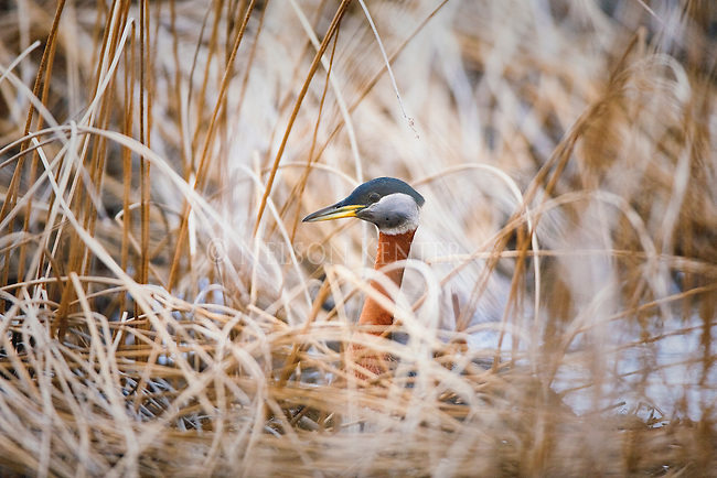 Red Necked Grebe in marsh grass at Brown's lake in Montana