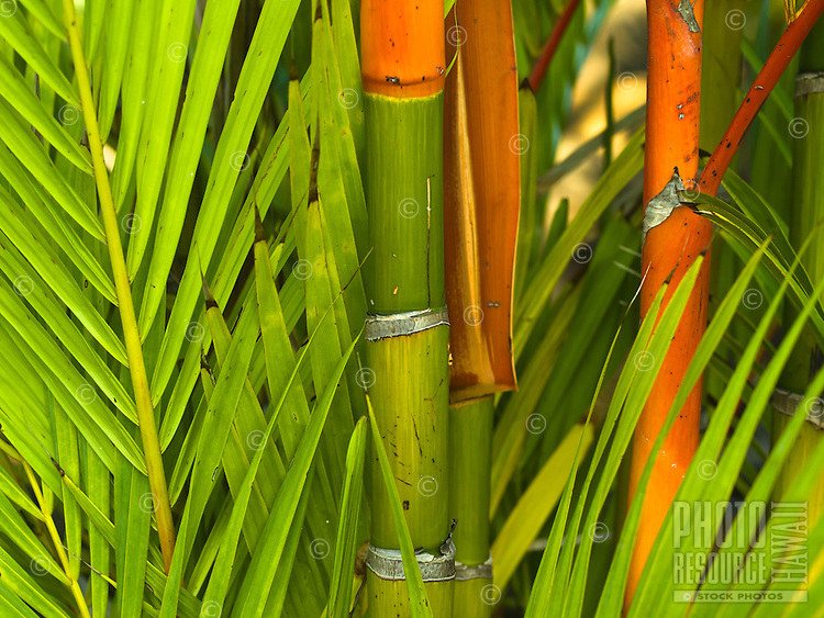 An intimate look of the colorful branches and trunk of a small palm tree, Kailua-Kona, Big Island.