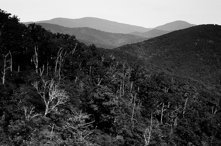 Trees, Shenandoah NP, VA   35mm image on Ilford Delta 100 film