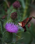 Hummingbird Clearwing moth feeding on a Thistle flower. Image taken with a Nikon D810a camera and 80-400 mm VRII lens.
