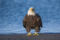 Bald Eagle stands on a sandy beach along the coast of the spit in Homer, Southcentral Alaska