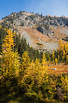 Yellow and gold western subalpine larch line a valley along the trail to the summit of Carne Mountain in the Central Cascade Mountains of Washington State.
