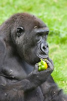 Germany, DEU, Muenster, 2006-Sep-06: A gorilla (gorilla gorilla) eating a green pepper in the Munster zoo.