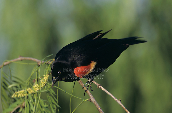 Red-winged Blackbird, Agelaius phoeniceus, male summer plumage, Welder Wildlife Refuge, Sinton, Texas, USA, April 2005