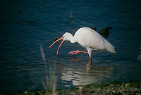 White Ibis in shallow water fishing mouth open