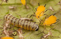 Monarch caterpillar and Oleander Aphids; Danaus plexippus and Aphis nerii; on common milkweed; PA, Morris Arboretum