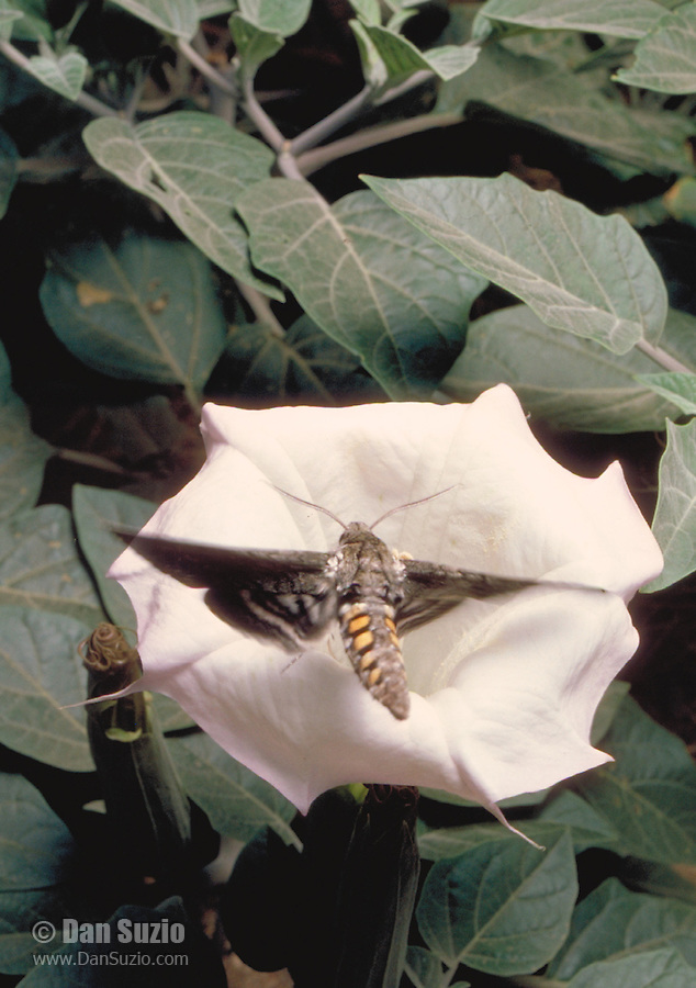Sphinx moth, Manduca sexta, approaches a Sacred Datura flower, Datura wrightii, at night in Joshua Tree National Park, California