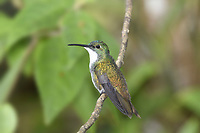White-chested Emerald - Amazilia brevirostris