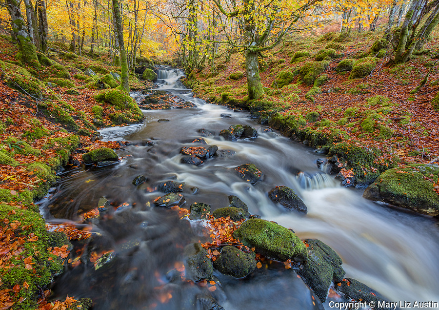 Western Highlands, Scotland: Small stream in autumn beech forest in Strathglass