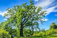 Jättestor månghundraårig gammal ek i Tyreö slottspark
