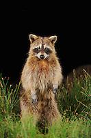 Northern Raccoon (Procyon lotor), adult at night standing on hind legs, Fennessey Ranch, Refugio, Coastal Bend, Texas Coast, USA