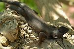 Kojira, Spiny Lizard, Sceloporus, Southern California