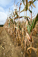 Forgage maize ready for harvest - October, Norfolk