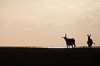 Donkeys in silhouette on the shores of lake Xau