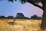 Red Deer (Cervus elaphus), Castilla La Mancha, Spain
