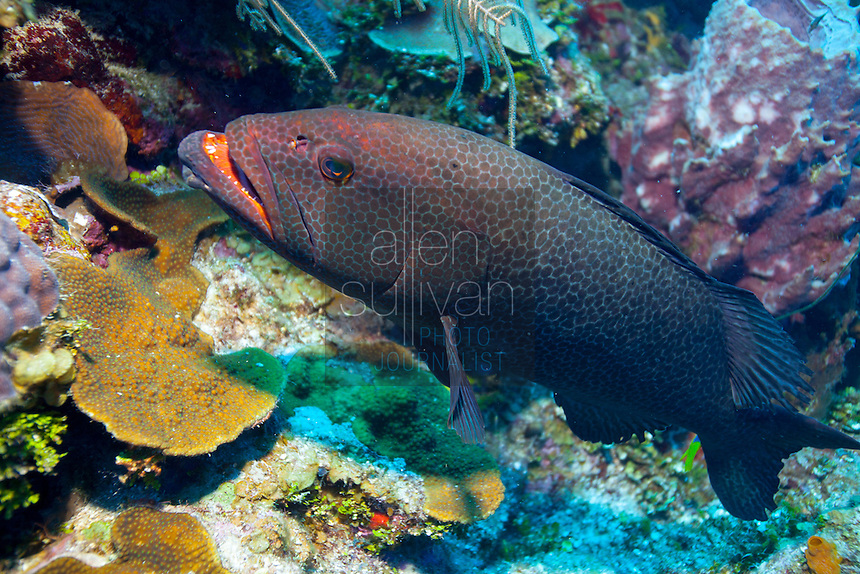 Rock hind bass (epinephelus adscensionis) among coral; Roatan, Honduras.