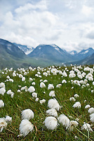 Common cottongrass (Eriophorum angustifolium) in the mountains of Jotunheimen national park, Norway