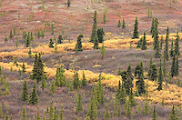 Like a yellow-colored river,  leaves turned by autumn's cold flow on a hillside above Denali Park Road on Sept. 13, 2008. Road permit lottery winners often witness autumn at its peak, although it's not uncommon for it to snow during the four-day period.